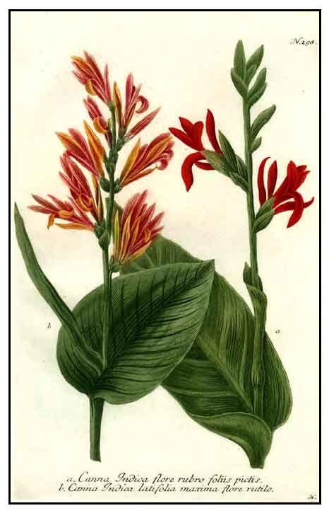 Tikas / Canna indica, pão indiano tiro, lírio de Canna Filipina ervas medicinais / Philippine Medicina Alternativa / StuartXchange