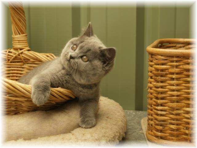 British Shorthair Breeders Australia - British Shorthair Kittens ...