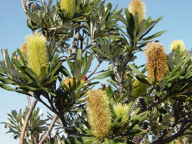 Banksia integrifolia feature trees to rear garden at Hobson St