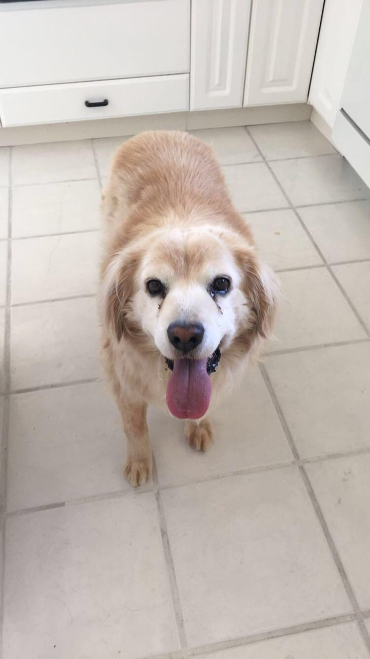 My old-man-dog Alex (golden retriever/ husky mix) always happy and smiling- especially if you have bacon!