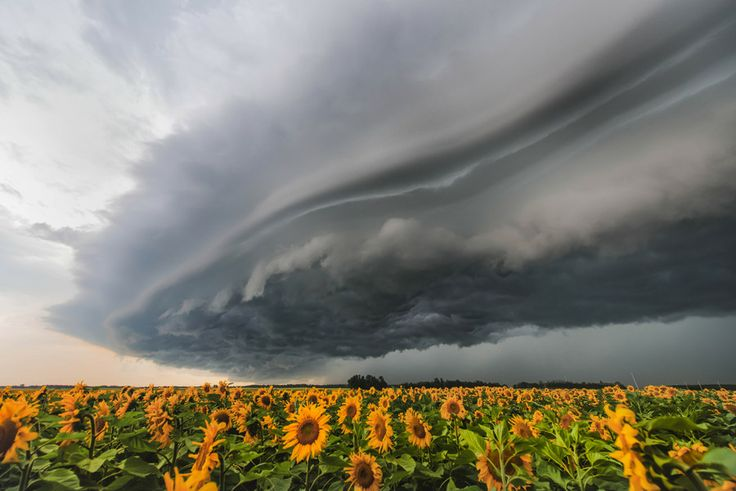 Storm over sunflowers. Photo by Bryan Sanders.