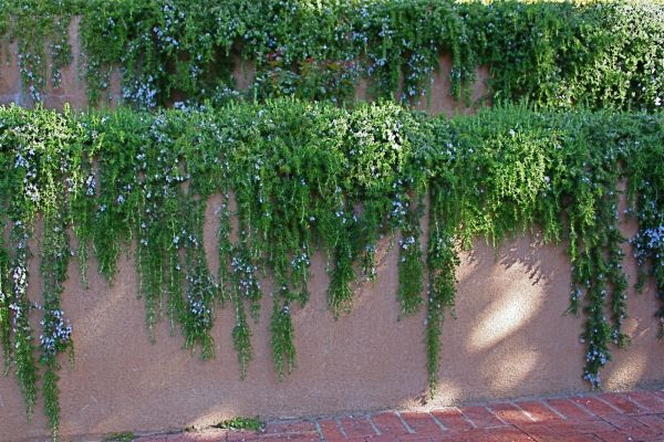 Trailing Rosemary is one of my favorite plants for spilling over a garden wall.  Not always hardy in the PNW.