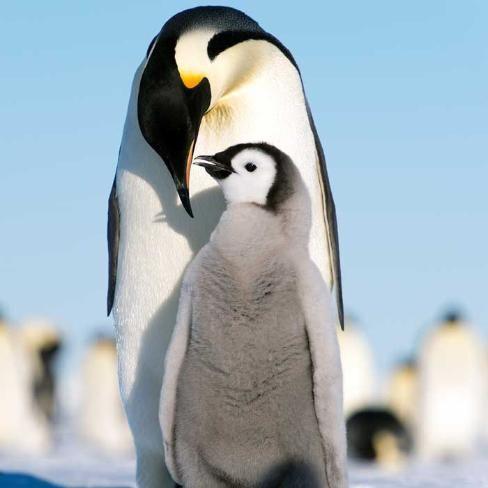 Penguin Chick - YouTube