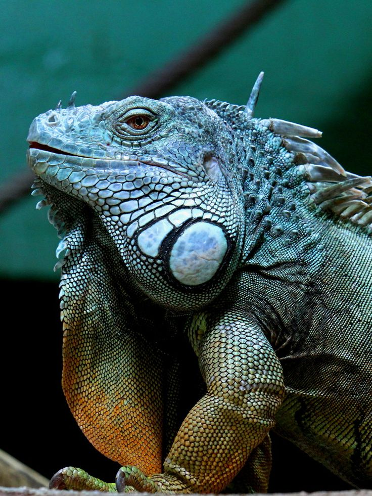 Grüner Leguan http://fc-foto.de/33228481