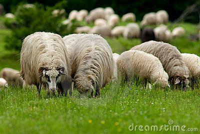 Sheep grazing in a mountain green field.