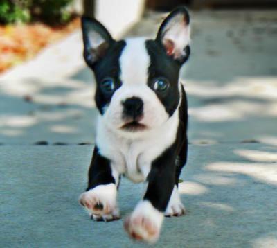 Puppy. Boston Terrier.                                                                                                                                                     More