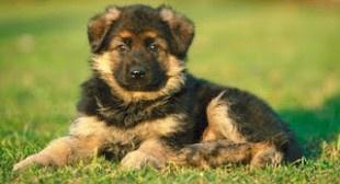 Educare un cucciolo di pastore tedesco