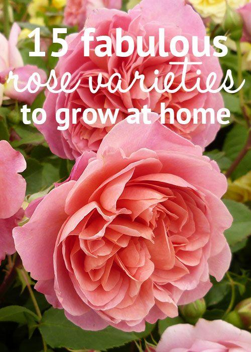 Best 25 rose varieties ideas on pinterest rose bush beautiful rose flowers and all flowers name - Rose cultivars garden ...