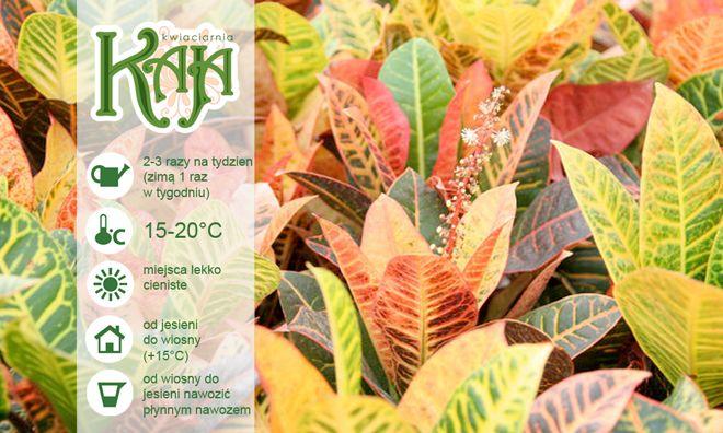 Kroton: należy trzymać z daleka od małych dzieci gdyż rośliny te wydzielają trujące soki. Miejsca lekko cieniste / jasne ale nie w pełnym słońcu. Zimą temperatura 15-16°C, zbyt niska temperatura może być przyczyną zrzucania liści. Latem 20°C. Wiosną i latem podlewać 2-3 razy w tygodniu, utrzymując stałą wilgotność powietrza, od jesieni ograniczyć podlewanie, uważając aby nie przesuszyć ziemi. Zraszać przez cały rok. Od wiosny do jesieni nawozić płynnym nawozem.