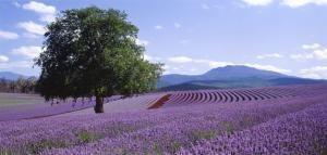 Bridestowe Lavendar Farm, Tasmania, Australia and VisitVineyards.com - Recipe: Bridestowe Blueberry Lavender Muffins >> http://www.visitvineyards.com/food/cooking-schools-recipes/wine-food-travel-articles/recipe-bridestowe-blueberry-lavender-muffins#