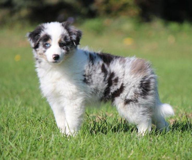 Aussie Border Collie Mix Puppy