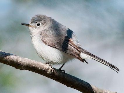 Blue gray gnatcatcher - April 22 (http://wgnss.wustl.edu/nn99kf/nn99kf.html)