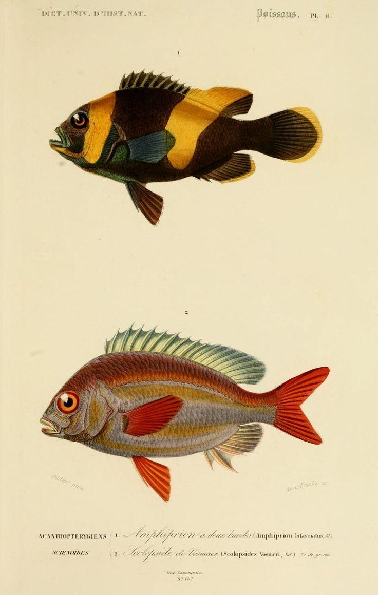 img/dessins couleur poissons/dessin poisson 0089 scolopside de vosmaer - scolopsides vosmeri.jpg
