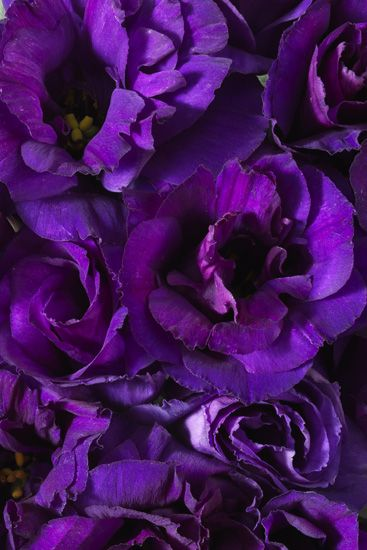 Purple Lisianthus, these are in my bridesmaids bouquets