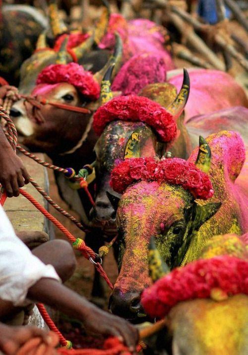 Bulls of the Mattu Pongal festival, google search