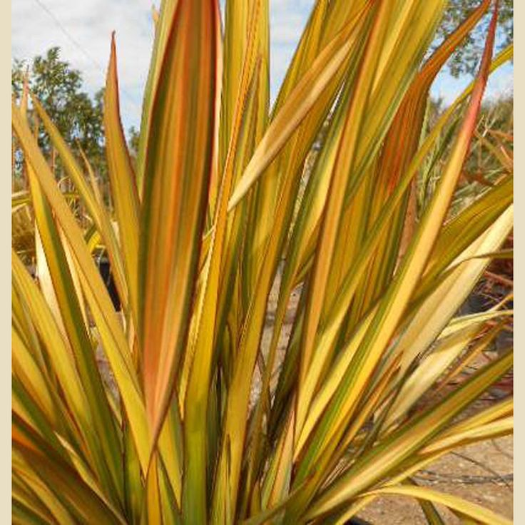 93 best ideas about phormium on pinterest gardens pink stripes and new zealand. Black Bedroom Furniture Sets. Home Design Ideas