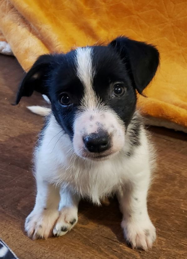 Jolly Adoptable Dog Puppy Male Border Collie Jack Russell