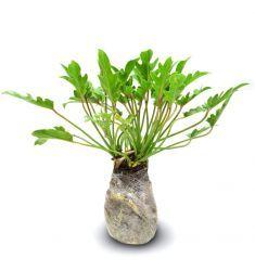 Philodendron Xanadu Rp 37,000