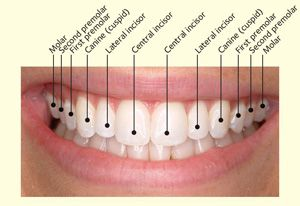 Baby Teeth • Seasons of Smiles Dental - Arthur Norman Medina DDS