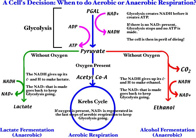 Aerobic and Anaerobic Respiration- nice big picture diagram  @Anna Totten Totten B remind you of someone's shirt??