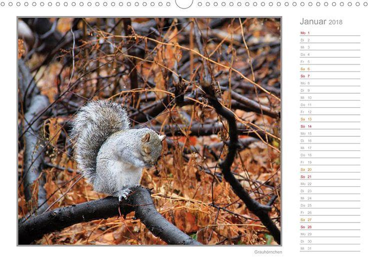 """Tierkalender mit Planer """"Hörnchen - neugierig, putzig, liebenswert"""", Kalenderblatt Januar: Grauhörnchen"""