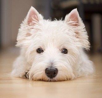 Cute West Highland Terrier Dog