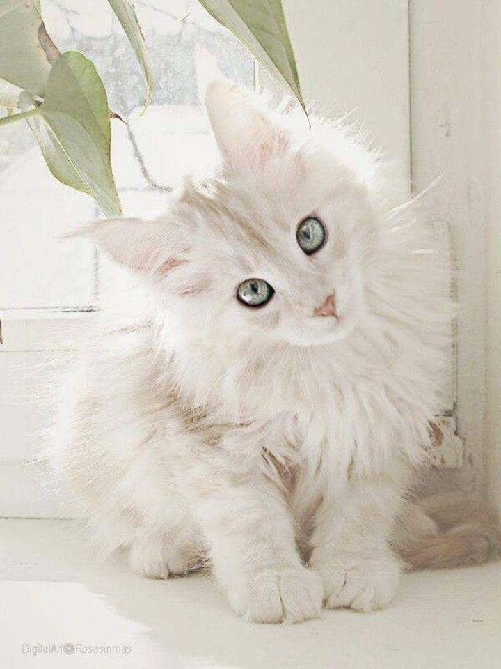 Une belle photo d'un Chat angora blanc sur fond blanc, avec des yeux magnifiques gris clair