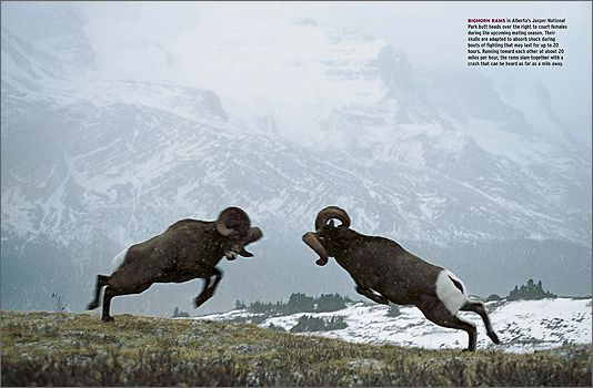Ram Big Horn >> Rocky Mountain Bighorn Sheep Fighting | www.pixshark.com - Images Galleries With A Bite!
