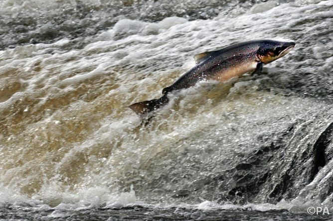 Atlantic salmon can be restored to historic abundance in just a few years