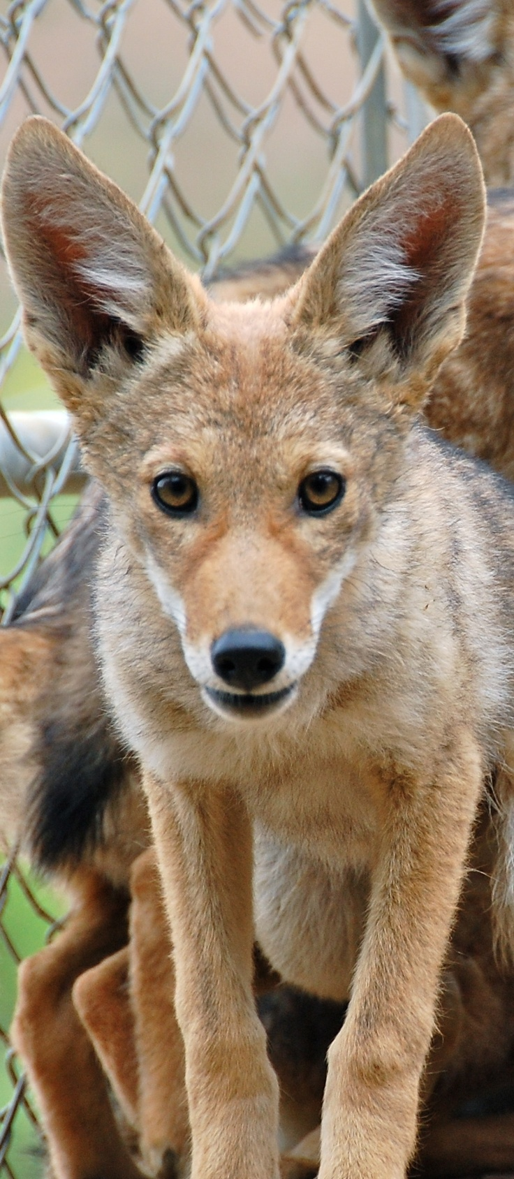 493 Best Coyotes Images On Pinterest