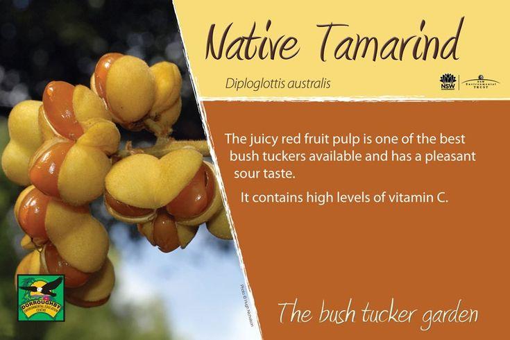 Dorroughby bush tucker native tamarind