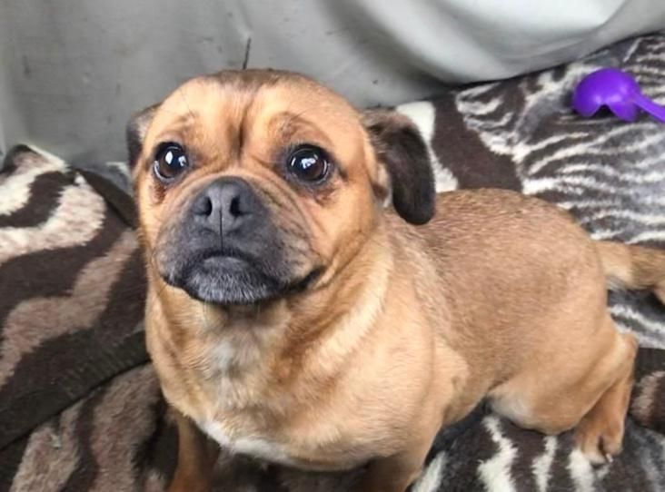 Winnie Find A Pet Rspca Org Uk Pug Cross Pets Pugs