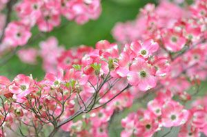 A Dogwood is one of the loveliest pink flowering trees. Rutgers hybrid sturdier