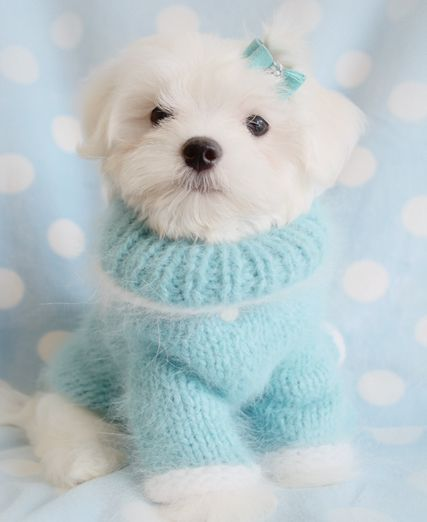 Maltese Puppy | ❤ Blue ~Pale ❤