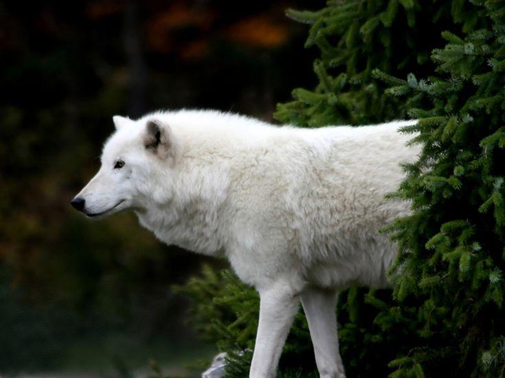 Арктический или полярный волк