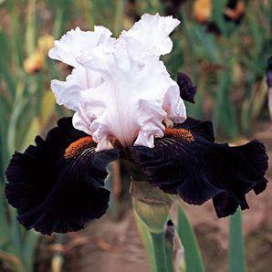 Starring Tall Bearded Iris