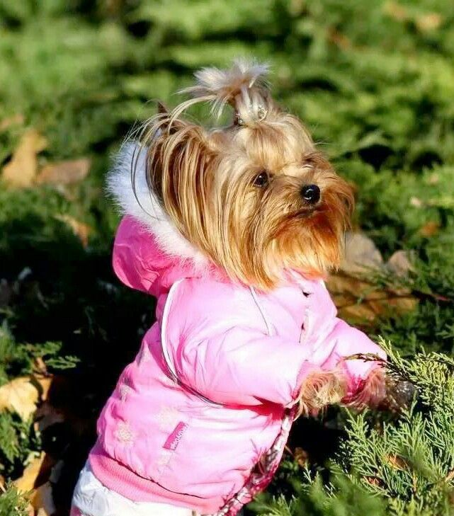 Sweet little Yorkie all nice and warm in her pink coat