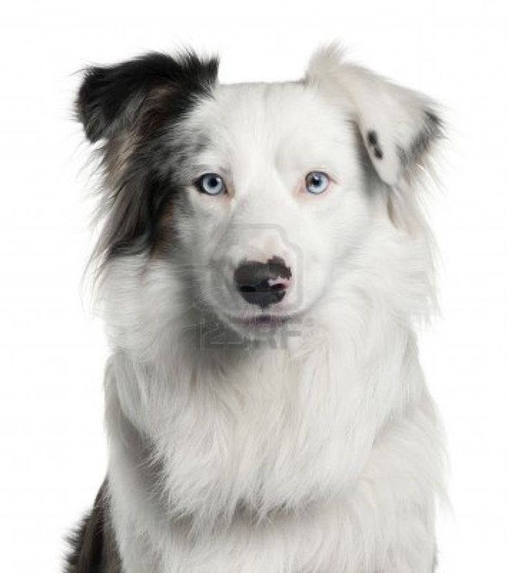 Mostly White Border Collie