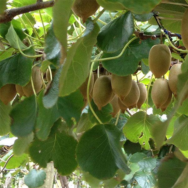 Planter et cultiver le kiwi