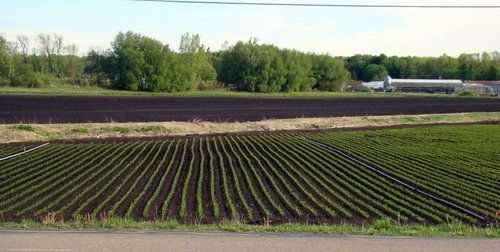 The muck fields of West Michigan #muck #celery #Michigan