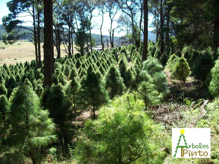"""En arboles naturales """"El Pinto"""" utilizamos metodos 100% naturales que no contaminan el medio ambiente y no afectan los componentes naturales de las especias cultivadas, ni la calidad del suelo"""
