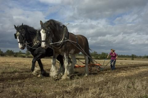 War Horse - Shire Horse in Action