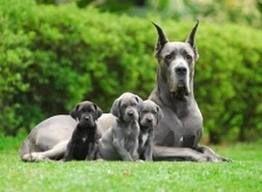 Dog Alemão.