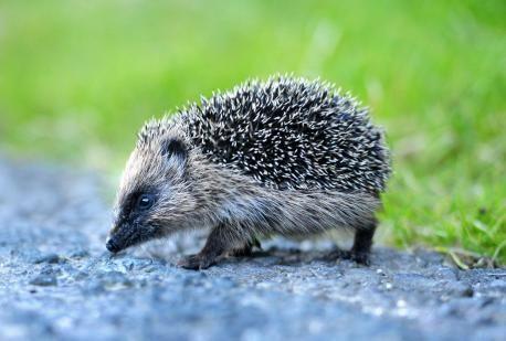 Dorset Echo: SPIKY: Bridport has been declared Britain's first Hedgehog Town