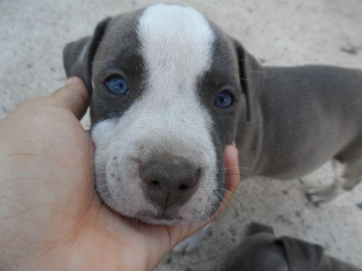 Staffordshire+Pitbull | Cachorros Pit Bull American Staffordshire Blue