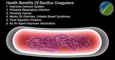 Bacillus Coagulans – Know the Facts In the vast universe of probiotic bacteria, Bacillus coagulans stands apart as a highly beneficial, yet surprisingly often overlooked microorganism. While its more famous Bifidobacterium and Lactobacillus 'relatives' grace...