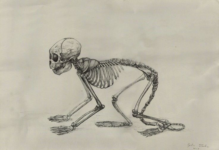 Monkey skeleton - Draw from life - Rapidograph on paper