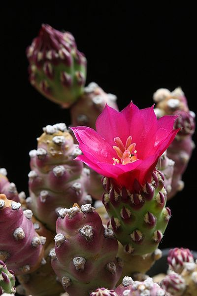 1328 best images about opuntia on pinterest