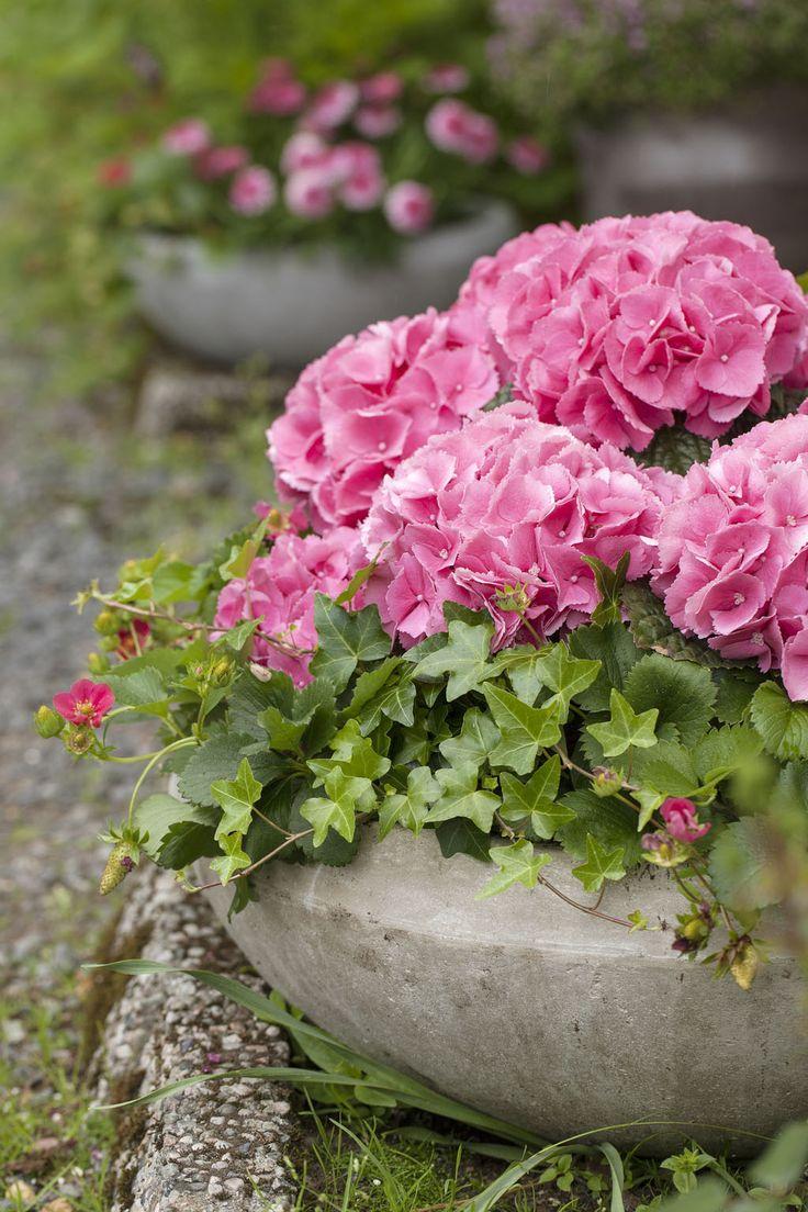 Hortensia og jordbærplante i fiberclay utepotte: http://www.mestergronn.no/blogg/herlige-hortensia/