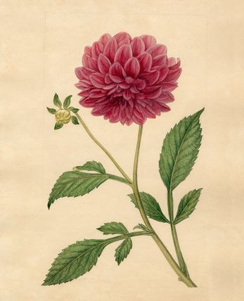 Sydenham Teast Edwards -- Dahlia superflua -- Sydenham Teast Edwards -- Artists -- RHS Prints